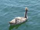 Mute Swan yoga